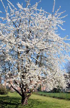Prunus avium - native cherry tree