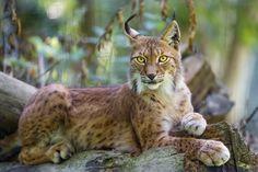 Siberian Lynx.