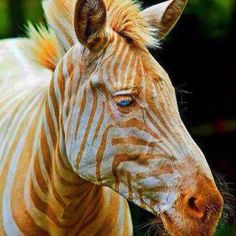 The zebra, named Zoe, is real and she indeed has gold coloured stripes and blue eyes. However, the image has been digitally enhanced to increase the intensity of her golden stripes. Zoe lives at the Three Ring Ranch animal sanctuary in Hawaii. She has a condition called amelanosis, which is the cause of her striking appearance.
