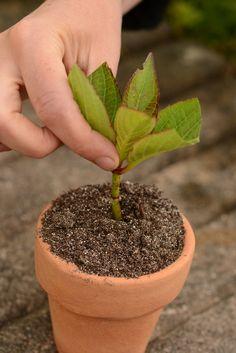 bouturer-les-hortensias Art, Gardens, Hydrangeas, Plant Cuttings, Plants, Interview, Human Height, Art Background, Kunst