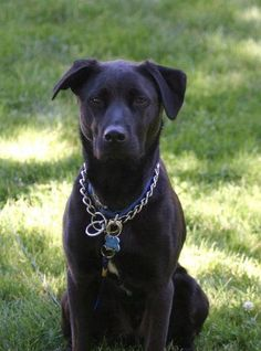 pitbull lab mix images mojo the dog hes a black lab pit. Black Bedroom Furniture Sets. Home Design Ideas