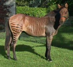 A brown zorse. He is a cross from a zebra and a horse being bred together.