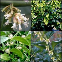 Sweet/Christmas Box - Sarcococca Confusa. Beautiful vanilla-scented plant with the ability to grow in light shade.