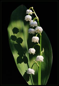 Reminds me of Grandma Krogstad's front porch ~ lily-of-the-valley - one of my all time favorites.