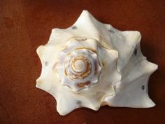 Conch Top Marked For Shell Wind Chime Sun Catcher