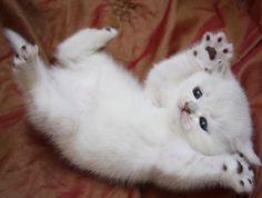 Cute Pure Snow White Burmese Kitten..