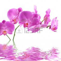 Pink Orchid. Orquídea color rosa, reflejada en el agua, sobre fondo blanco. Foto de archivo.