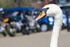 Happy swan in Dorset, Uk. Fran Vargas Photography