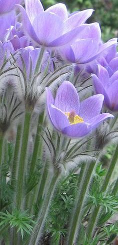 Pulsatilla vulgaris via Flickr