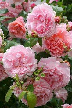 Rose 'Strawberry Hill'.