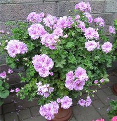 PAC Lilac Rose  Объем 12-15 литров, перезимовавший в том же сосуде, подрезанный весной