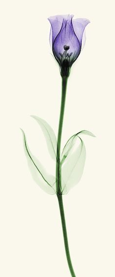 X-ray of Lisianthus by coopr RADIOGRAPHX-RAY PHOTOGRAPHY / X-RAY ART More At FOSTERGINGER @ Pinterest