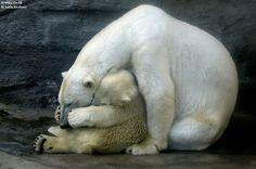 #polarbears #xmas