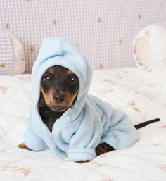 This dachshund who just wants to lounge in his bathrobe all day will fit perfectly in your tiny house.