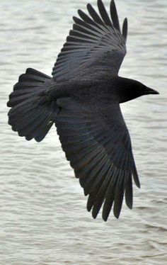 The Magickal Crow!