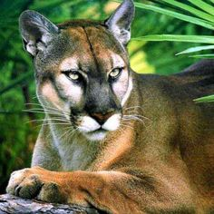 Florida Panther - now becoming endangered due to loss of habitat and a large number of highway deaths. I once spent part of day with a Florida Panther, the fur on their paws is incredibly soft! Beautiful Cats, Animals Beautiful, Cute Animals, Majestic Animals, Pumas, I Love Cats, Big Cats, Gato Grande, Mountain Lion