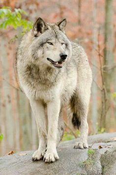 Wolf .. FB Save Birds and Animals