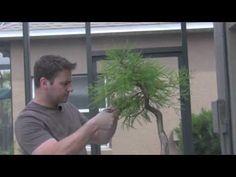 How To Bonsai - Trimming Bonsai Tree Care