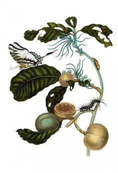 Duroia_eriopila_by_maria sybilla merian insecten theologie1