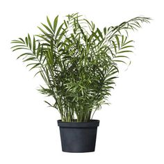 CHAMAEDOREA ELEGANS Potted plant $7.99  Additional Common Names: Miniature Fish Tail Dwarf Palm, Parlor Palm, Good Luck Palm   Scientific Name: Chamaedorea elegans   Family: Palmae   Toxicity: Non-Toxic to Dogs, Non-Toxic to Cats