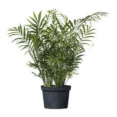 $7.99 CHAMAEDOREA ELEGANS Potted plant IKEA