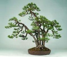 2037 Best Fowers All Kinds Images Bonsai Plants Bonsai Balcony