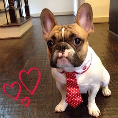 French Bulldog dressed up wearing a tie... :)