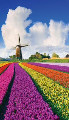 Dutch Windmill Over Tulips Field - tulips, windmill, field, Nature, clouds Landscape Photos, Landscape Photography, Landscape Designs, Tulip Fields Netherlands, Holland Netherlands, Netherlands Windmills, Nature Photos, Beautiful Landscapes, Trip Advisor