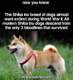 ALL Shiba Inu dogs come from 3 Bloodlines...Since WWII.