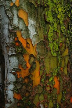 Bark: orange, red, green, white, brown