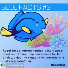 Repost from @comiquarium -  You won't find them in vast open ocean #regaltang are tropical #reef fish. Their distribution are quite vast from East Africa to the #greatbarrierreef of Australia. And Indonesia is one of the places they can be seen. #comiquarium #bluefacts #findingdory #findingnemo #dory #regaltang #hippotang #surgeonfish #bluetang #haveyouseenher #regalbluetang #marinefish #reef #reeftank #reefaquarium #coralreef #fish #fishofinstagram #komikinajah #dagelan #Regrann…
