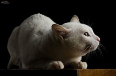 """""""Among human beings, a cat is merely a cat; among cats, a cat is a prowling shadow in a jungle."""" --Karel Capek"""