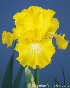 The vigorous golden giant comes alive late in the bloom season. Bold Look's well formed petals are finished in deep radiant yellow. They have excellent substance and the wide...