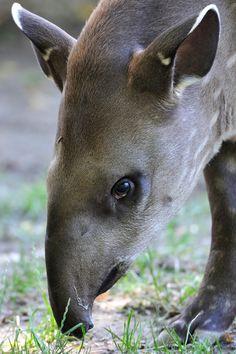 Young Tapir - http://www.facebook.com/pages/Pour-la-protection-des-animaux-et-de-la-nature/120423378016370