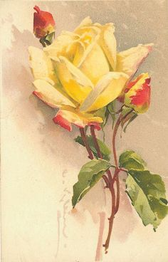 red-tinged yellow rose