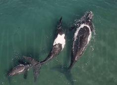 Una de las criaturas más grandes y pacífcicas del mundo en las playas del Doradillo, Patagonia Argentina.