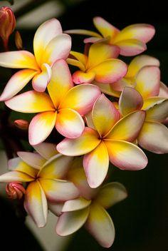 Frangipani | Flickr - Photo Sharing!