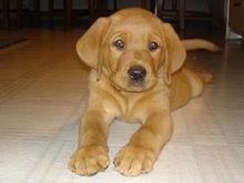 ugh so cute! red fox lab puppy