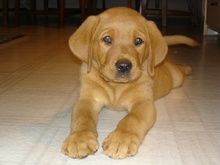 red fox lab puppy is so adorable
