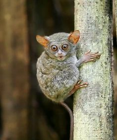 Tarsier is one of the smallest primate in the world. It thrives mostly in secondary dense forests with a diet o...