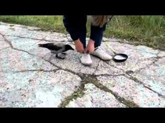 soooooo funny!!! and amazing!! Clever crow tries to trick man out of a frying pan  Funny Amazing