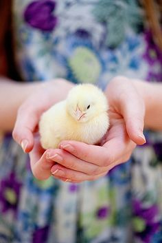 fluffy baby chick ~ ♡ I want one!