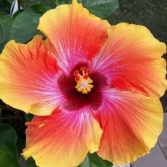 Spin the Bottle Hibiscus