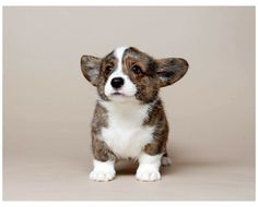 Welsh Corgi Pembroke, Cardigan Welsh Corgi Puppies, Corgi Dog, Great Dane Dogs, Cute Dogs, Australian Shepherd Puppies, Teacup Puppies, Lab Puppies, Corgi Pictures