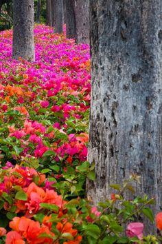 Bougainvillea Forever by Eggers Photography. Colorful Bougainvillea on park grounds in Maui, Hawaii Beautiful World, Beautiful Gardens, Beautiful Places, Beautiful Pictures, Wonderful Places, Beautiful Gorgeous, Amazing Places, Wild Flowers, Beautiful Flowers
