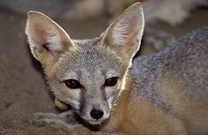 Kit fox (Vulpes macrotis).