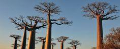Madagascar ou le pays des arbres à l'envers