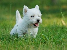 Future dog WEST HIGHLAND WHITE TERRIER