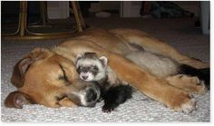 Who ever said that different animals can't get along? 50 Touching photos of unusual animal friendships. Unusual Animal Friendships, Unlikely Animal Friends, Unusual Animals, Exotic Animals, Exotic Pets, Funny Animals, Cute Animals, Small Animals, Animals Beautiful