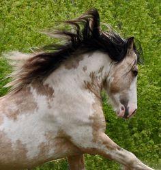Beautiful Gypsy Vanners | Gypsy Vanner Stallion British Sterling